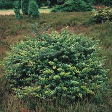 Барбарис средний Парк Джевел (15-25 см, ЗКС)