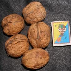 Грецкий орех Великан (Двухлетний, ОКС)