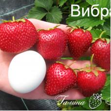 Клубника Вибрант (ОКС)