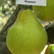 Колоновидная Груша Медовая (Однолетний, ОКС)
