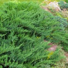Можжевельник казацкий Тамарисцифолия (10-12 см, ЗКС)