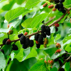 Шелковица Черная жемчужина (Однолетний, ОКС)