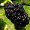 Купить Шелковица Стамбульская черная (Однолетний, ОКС)