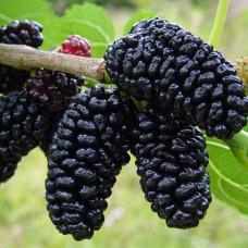 Шелковица Стамбульская черная (Однолетний, ОКС)
