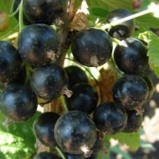 Смородина черная Черешневая (Двухлетний, ЗКС)