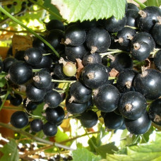 Смородина черная Юбилейная Копаня (Однолетний, ЗКС)