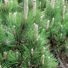 Сосна белокорая Дольче Дорме (60-70 см, ЗКС)