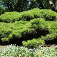 Сосна густоцветковая Джейн Клуис (30-40 см, ЗКС)