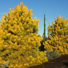 Сосна Желтая (15-20 см, ЗКС)