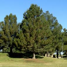 Сосна кедровая европейская (30-40 см, ЗКС)