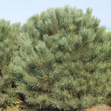 Сосна обыкновенная (25-30 см, ЗКС)