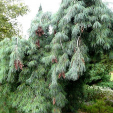 Сосна веймутовая (25-35 см, ЗКС)