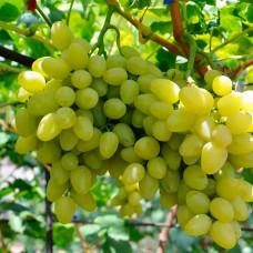 Виноград Бажена (Однолетний, ОКС)