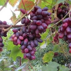 Виноград Изюминка (Однолетний, ОКС)